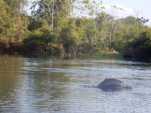 lone young river dolphin