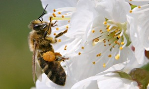 ee collects pollen from a cherry tree in village Studencice, Slovenia
