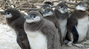 penguinchicks