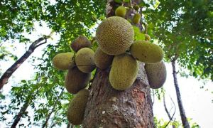 JJackfruit or Jack Tree (Artocarpus heterophyllus), fruit growing on the tree, India