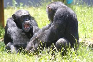 Chimps-outsmart-humans-at-simple-strategy-games