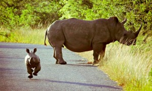 Playful Baby Rhino And Its Mother In South Africa