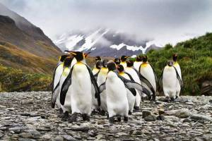 KingPenguins_SteveGould