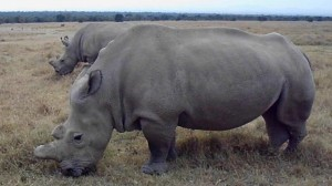 Northern_White_Rhino_cows_Najin__Fatu_at_The_Ol_Pejeta_Conservancy.-638x358
