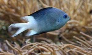 spinyfish