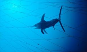 Swordfish (Xiphias gladius) caught in fishing net