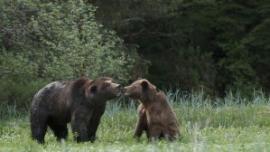 grizzlybears