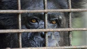 chimpanzeebehindbars