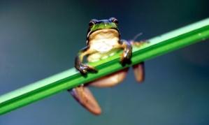 goldenbellfrog