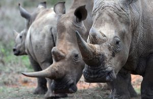 rhinosassistedbreeding