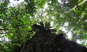 brazilnuttree
