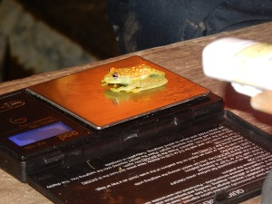 A Punctatus frog being weighed